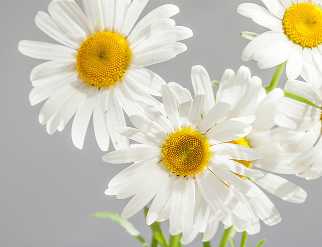 Uses of Chamomile in Herbal Medicines